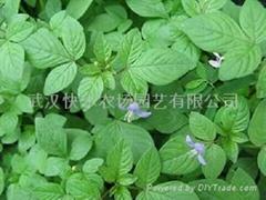 湖北特色蔬菜白花菜種子