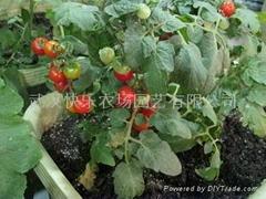 真開心盆栽番茄