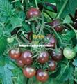黑番茄種子