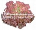 紫珊瑚生菜