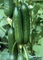 水果黄瓜 3