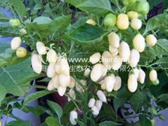 黑辣椒種子