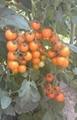黃色小番茄種子