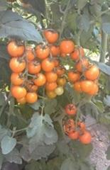 黄色小番茄种子