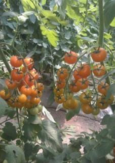 黄色小番茄种子 3