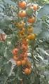 黄色小番茄种子 4