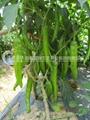 辣椒種子 1