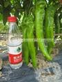辣椒種子 2