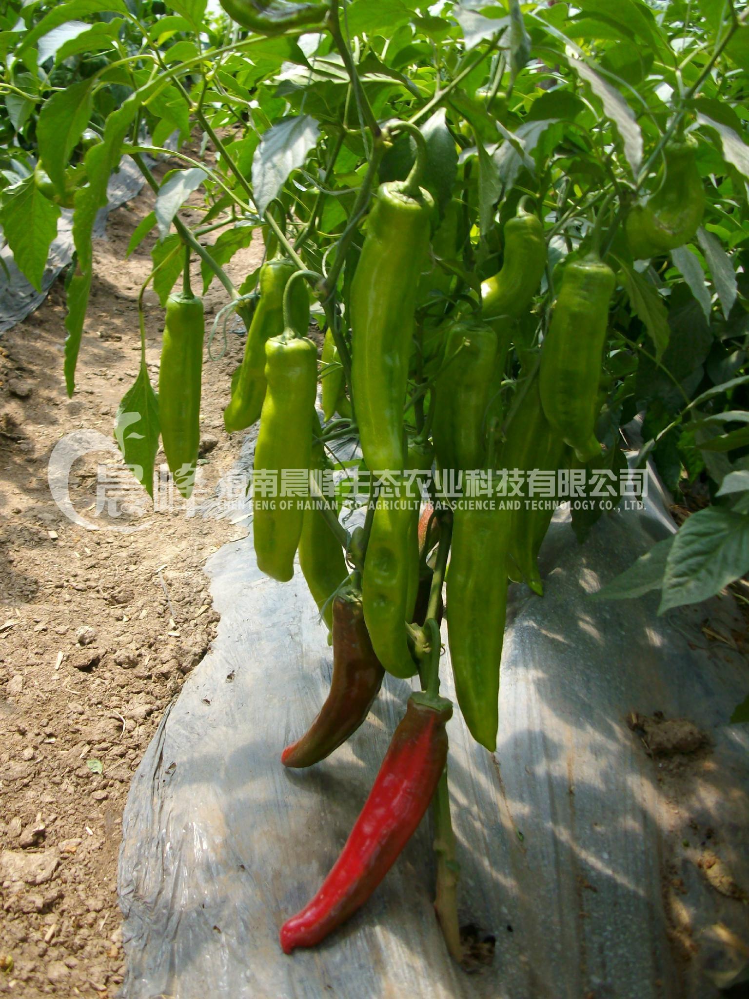 辣椒種子 4