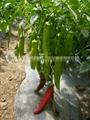 辣椒种子 4