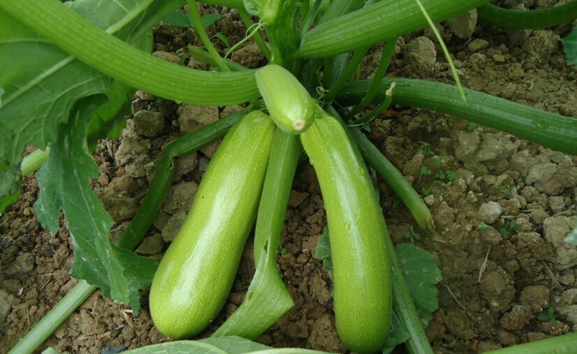 西葫芦种子 2