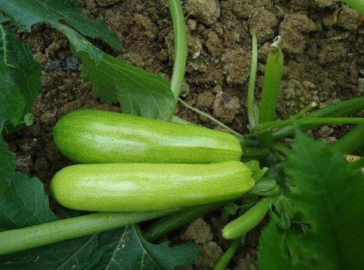 西葫芦种子 3