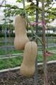 -迷你奶油 南瓜种子