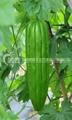 苦瓜种子 1