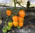 金状元2号-黄色番茄种子