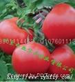 西红柿种子荷兰金粉 2