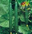 黄瓜种子绿箭一号 1