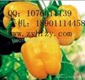 彩椒种子黄星二号