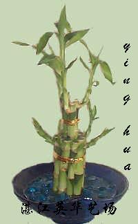 lucky bamboo 1