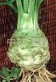 根芹种子 1