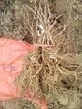 golden kiwi seedlings 1