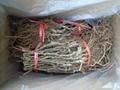 red sun kiwi seedlings