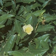 Green Tea (Camellia Sinensis) Extract
