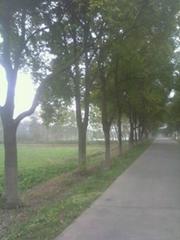 大香樟行道树