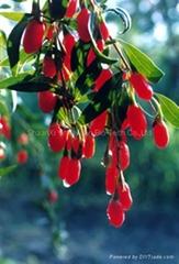 Wolfberry P.E (Goji berry extract)