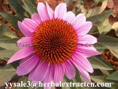 hot-selling Echinacea  Polyphenol