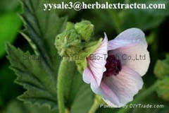 SALE! Manufacture supply top quality Althaea root extract