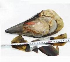 海鮮野生帶子貝