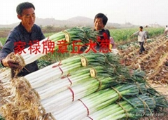 家祿三號章丘大蔥種子