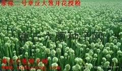 原产地章丘大葱种子