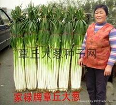 家祿巨白章丘大蔥種子