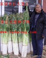 章丘大蔥種第一品牌家祿三號山東大蔥種子