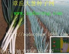 日本晚抽大蔥種子