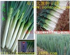 井冈一本日本铁杆大葱种子
