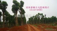 供应湖南益阳香樟树
