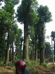 诚信供应香樟树8000棵