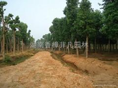 湖南贵州四川联营移植大小香樟树