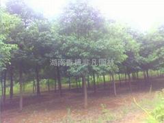 2015贵州香樟树采购定点湖南益阳香樟树