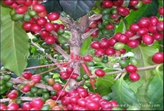 arabica coffee from yunnan china, best manufacturer supply