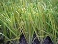 賽爾隆橄欖單絲人造草坪 2