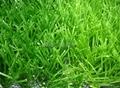 W型單絲人工草坪 5