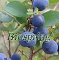 Bilberry P.E.(Origin of Material: China)