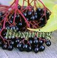 Elderberry P.E(elderberry extract)