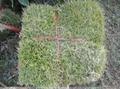 郴州綠化草坪