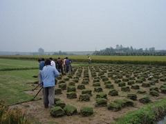 綠化草皮價格