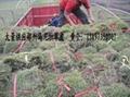 郴州馬尼拉草皮